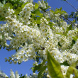 Flowering bird cherry tree — Stock Photo