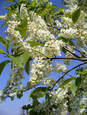 Flowering white bird cherry tree — Stock Photo