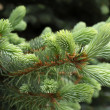 evergreen firry branch — Stock Photo