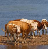 Cows on the riverbank — Stock Photo