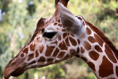 Giraffe head profile — Stock Photo
