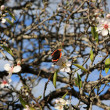 Stock Photo: Almond tree and butterfly