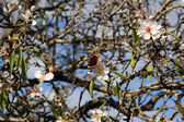 Almond tree and butterfly — Stock Photo