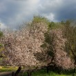 almond tree — Stock Photo