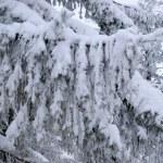 積雪の firtree — ストック写真