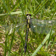 Stock Photo: Green dragonfly