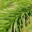 Fir tree — Stock fotografie