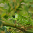 Royalty-Free Stock Photo: Grasshopper