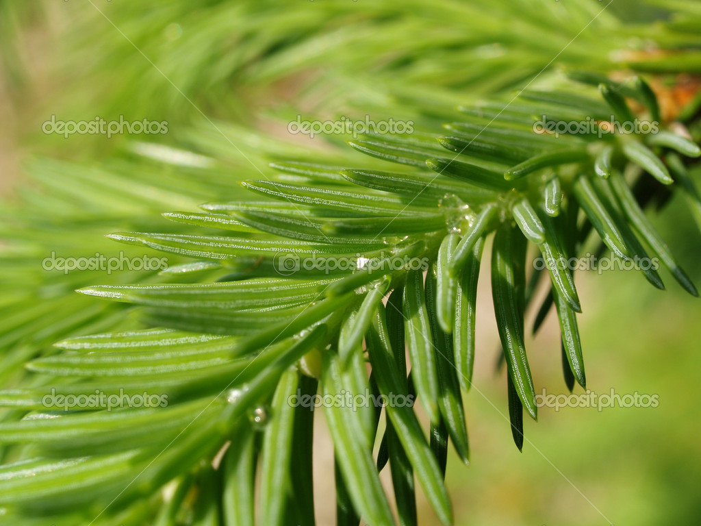 A branch of a fir tree  Photo #1141100