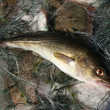 Baltic sea cod. - Stock Photo