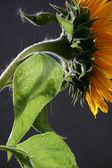 Sunflower in studio 3 — Stock Photo