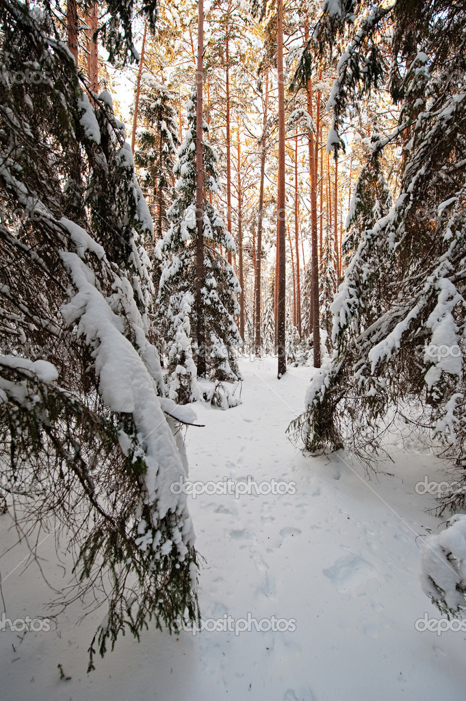 Pine and spruce forest covered by snow  — Stock Photo #1944126