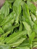Leaves of sorrel — Stock Photo