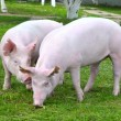 Young pigs - Stockfoto