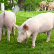 Young pigs — Stock Photo #1020975