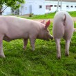 Young pigs — Stock Photo #1096192