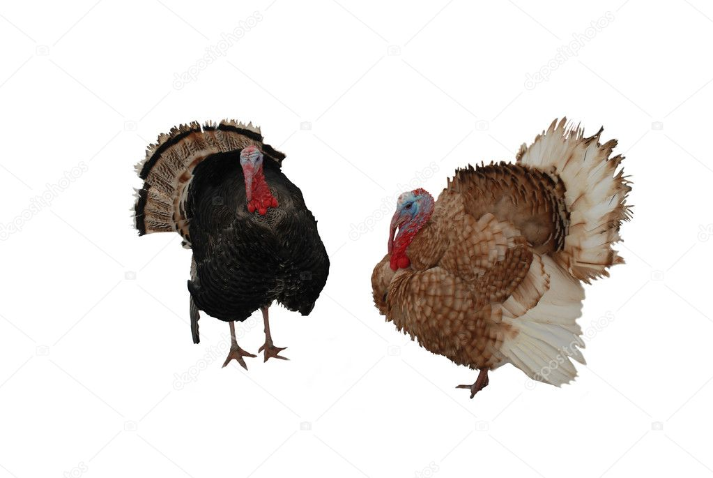 Turkey cock                                — Stock Photo #1015481