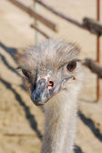 This is ostrich in Russia.)) Photo - summer 2009. — Stock Photo