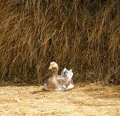 Goose — Foto de Stock