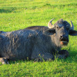 Foto de Stock  : Old buffalo on green grass