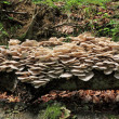 Oyster mushrooms (Pleurotus ostreatus) o — Stock Photo