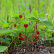 图库照片: Small bush of wild strawberry