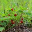 Stock Photo: Small bush of wild strawberry