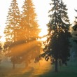 sunrise in fur-tree forest — Stock Photo