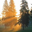 Stock Photo: Sunrise in fur-tree forest