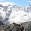图库照片: Mountain goat