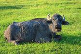 Stary bawół na zielonej trawie — Zdjęcie stockowe