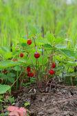 Petit arbuste de fraise des bois — Photo