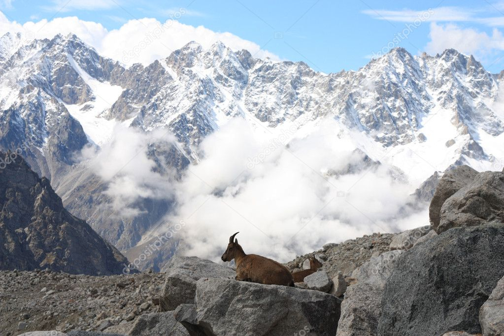 Mountain goat on the background of snow-capped peaks — Stock Photo #1033894