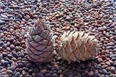 Pine nuts — Zdjęcie stockowe