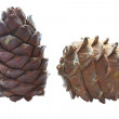 Cedar cones - Stock Photo