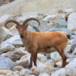 Mountain goat — Stock Photo
