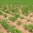 Potato field - Stock Photo
