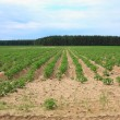 Potato field - Stockfoto