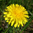 Royalty-Free Stock Photo: Dandelion.