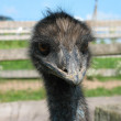 Ostrich head. — Stock Photo