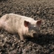 Royalty-Free Stock Photo: Pig in a mud.