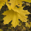 Royalty-Free Stock Photo: Maple leaf in a forest.