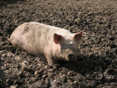 Pig in a mud. — Stock Photo