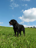 Happy rottweiler on a meadow. — Stock Photo