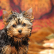 Yorkshire terrier — Stock Photo #1018567