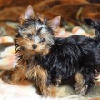 Yorkshire terrier — Stock Photo #1018600