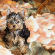 Yorkshire terrier — Fotografia Stock  #1018616