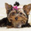 Yorkshire terrier — Stock Photo #1018624