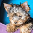 Yorkshire terrier — Stock Photo #1018632