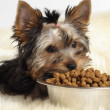 Yorky and food - Stock Photo